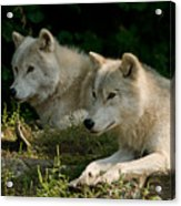 Arctic Wolf Pictures 1268 Acrylic Print