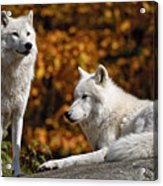 Arctic Wolves On Rocks Acrylic Print by Michael Cummings