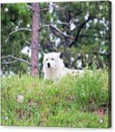 Arctive Wolf Lying Down Acrylic Print