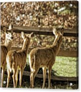 Are You Looking At Us Acrylic Print