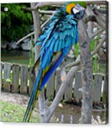 Arent I A Handsome Fellow - Blue And Gold Macaw Acrylic Print