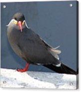 Arica Chile Sea Bird Acrylic Print
