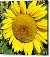 Arikara Sunflower Acrylic Print