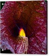 Aristolochia Elegans  Acrylic Print