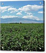 Arizona Cotton Field Acrylic Print
