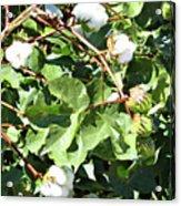 Arizona Cotton Acrylic Print