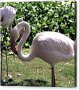 Arizona Flamingos Acrylic Print