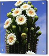 Arizona State Flower- The Saguaro Cactus Flower Acrylic Print