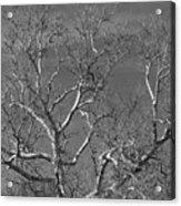Arizona Sycamore Tree Filtered 022714 Acrylic Print