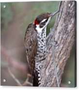 Arizona Woodpecker Acrylic Print
