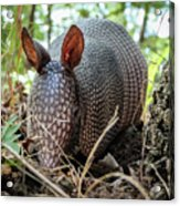 Armadillo In The Woods Acrylic Print