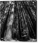 Armstrong National Park Redwoods Filtered Sun Black And White Acrylic Print