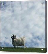 Art Goat Acrylic Print