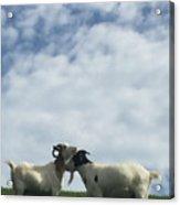 Art Goats II Acrylic Print