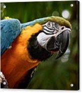 Art Macaw Acrylic Print