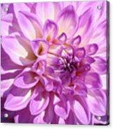 Art Prints Dahlia Flower Decorative Art Garden Baslee Acrylic Print