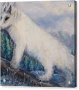 Artic Fox Acrylic Print