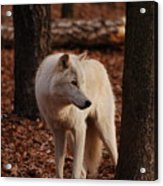 Artic Wolf Acrylic Print