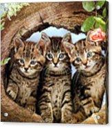 Three Cats Acrylic Print