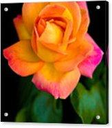 Arundel Rose Acrylic Print
