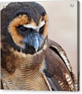 Asian Brown Wood Owl Acrylic Print