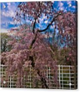 Asian Cherry In Blossom Acrylic Print