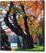 Asian Cherry Trees Of Fall Acrylic Print