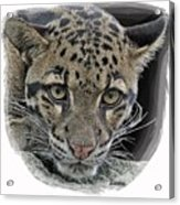 Asian Cloud Leopard Acrylic Print
