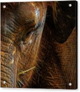 Asian Elephant Closeup Portrait Acrylic Print