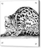 Asian Leopard Cat Acrylic Print