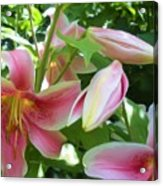 Asian Lilies Unfolding Acrylic Print