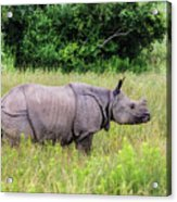 Asian Rhinoceros Acrylic Print