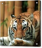 Asian Tiger 5 Acrylic Print