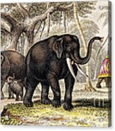 Asiatic Elephant With Young, 19th Acrylic Print