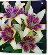 Asiatic Lillies Again Acrylic Print