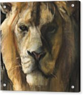 Asiatic Lion Acrylic Print