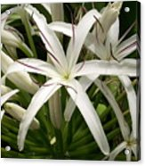 Asiatic Poison Lily Acrylic Print