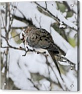 Asleep In The Snow - Mourning Dove Portrait Acrylic Print