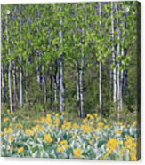 Aspen And Balsam Root Acrylic Print