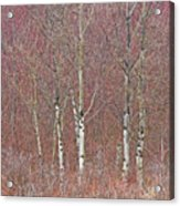 Aspen And Buckbrush Acrylic Print