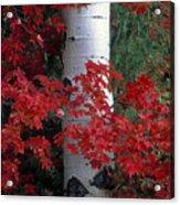 Aspen And Mountain Maple Acrylic Print