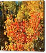 Aspen Colors In Dillon Colorado Acrylic Print