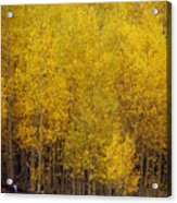 Aspen Fall 2 Acrylic Print by Marty Koch