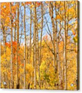 Aspen Fall Foliage Vertical Image Acrylic Print