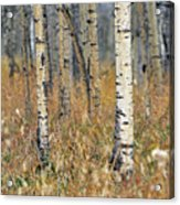 Aspen Forest, Mountain View County Acrylic Print