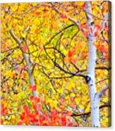Aspen Gold And Orange Acrylic Print