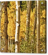 Aspen Gold Acrylic Print by James BO  Insogna