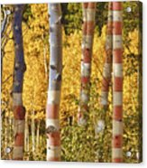 Aspen Gold Red White And Blue Acrylic Print