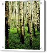 Aspen Grove Flagstaff Arizona Acrylic Print