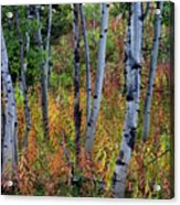 Aspen In Fall Acrylic Print